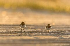 Sibling Warriors (tkfranzen) Tags: americanoystercatcher haematopuspalliatus nickersonbeach birdphotography birdsofny shorebirds babyanimal longislandny onthebeach beachbirds
