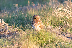 June 15, 2019 - An attentive burrowing owl. (Tony's Takes)