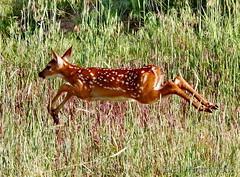 June 16, 2019 - A deer fawn on the run. (Bill Hutchinson)