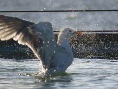 IMG_6474 (jesust793) Tags: pájaros birds aves gaviotas seagulls