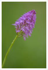 Fiore 253 (Outlaw Pete 65) Tags: macro closeup fiore flower orchidea orchid natura nature colori colours rosa pink verde green nikond750 sigma105mm brescia lombardia italia