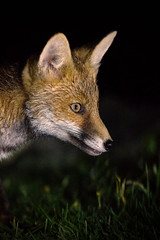 Fox Cub (jonathanclark) Tags: wildlife wild natural nature northernireland countydown bangor youngster young cub evening night red fox mammal animal