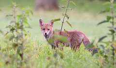 Eyes (Guido de Kleijn) Tags: fox redfox vulpesvulpes vos guidodekleijn zuidlimburg limburg nikond500 nikon200500f56