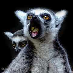 Nice Munch (JKmedia) Tags: lemur madagascar baby hands feeding boultonphotography 2019 chesterzoo animal eye orange siblings mum mother 2 two