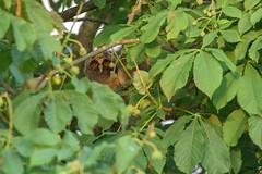 Long-eared Owl playing hide and seek (Kees499  Nature pics) Tags: nikon d5 keesmolenaar nature owl uil alblasserwaard alblasserdam holland lightroom afs200500f56evr tc14eii asiootus ransuil