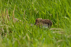 Spring Bank Holiday Wildlife 2019 213 - Snipe chick (Mark Schofield @ JB Schofield) Tags: huddersfield yorkshire pennine west south meltham marsden slaithwaite animals bird snipe meadow pipit linnet lapwing grey heron brown hare chick countryside