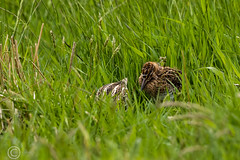 Spring Bank Holiday Wildlife 2019 208 - Snipe chick (Mark Schofield @ JB Schofield) Tags: huddersfield yorkshire pennine west south meltham marsden slaithwaite animals bird snipe meadow pipit linnet lapwing grey heron brown hare chick countryside