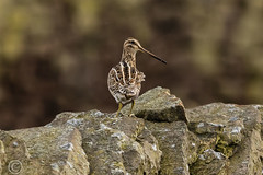Spring Bank Holiday Wildlife 2019 197 Windswept in the rain (Mark Schofield @ JB Schofield) Tags: huddersfield yorkshire pennine west south meltham marsden slaithwaite animals bird snipe meadow pipit linnet lapwing grey heron brown hare chick countryside