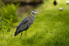 Spring Bank Holiday Wildlife 2019 178 - Heron by the canal (Mark Schofield @ JB Schofield) Tags: huddersfield yorkshire pennine west south meltham marsden slaithwaite animals bird snipe meadow pipit linnet lapwing grey heron brown hare chick countryside