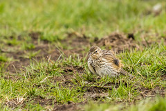 Spring Bank Holiday Wildlife 2019 153 - Puffed up pipit (Mark Schofield @ JB Schofield) Tags: huddersfield yorkshire pennine west south meltham marsden slaithwaite animals bird snipe meadow pipit linnet lapwing grey heron brown hare chick countryside
