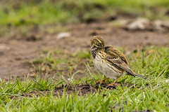 Spring Bank Holiday Wildlife 2019 152 - A bit of pipit grooming (Mark Schofield @ JB Schofield) Tags: huddersfield yorkshire pennine west south meltham marsden slaithwaite animals bird snipe meadow pipit linnet lapwing grey heron brown hare chick countryside