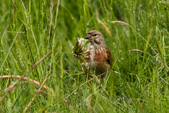 Spring Bank Holiday Wildlife 2019 093 - This was the only daisy left in the field (Mark Schofield @ JB Schofield) Tags: huddersfield yorkshire pennine west south meltham marsden slaithwaite animals bird snipe meadow pipit linnet lapwing grey heron brown hare chick countryside