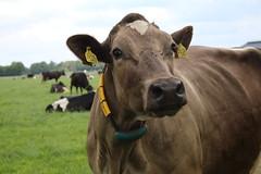 Delta Finola Cadence (excellentzebu1050) Tags: dairycows cow cattle closeup dairyfarm livestock grass animal animalportraits coth5