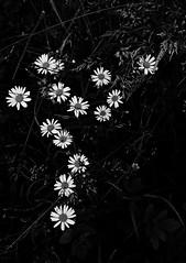 2 - Le printemps dans le fossé - Marguerites (melina1965) Tags: panasonic lumix dmctz57 bourgogne burgondy saôneetloire 2019 saintvallier printemps spring juin june noiretblanc blackandwhite bw fleur fleurs flower flowers