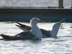 IMG_6462 (jesust793) Tags: pájaros birds aves gaviotas seagulls