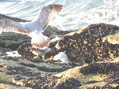 IMG_6438 (jesust793) Tags: pájaros birds aves gaviotas seagulls