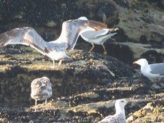 IMG_6425 (jesust793) Tags: pájaros birds aves gaviotas seagulls