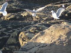 IMG_6424 (jesust793) Tags: pájaros birds aves gaviotas seagulls