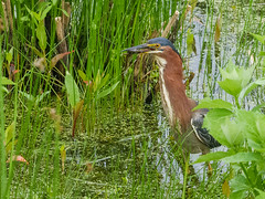 Green Heron eating (rikaru) Tags: wildlife birds greenheron marshfield massachusetts unitedstatesofamerica