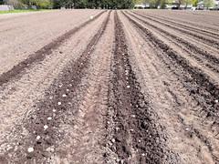 planting potatoes (BelmontAcresFarm) Tags: april 2019 potatoes belmontacres belmont farm