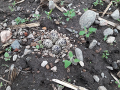 killdeer nest (BelmontAcresFarm) Tags: may 2019 belmont farm belmontacres killdeer eggs nest