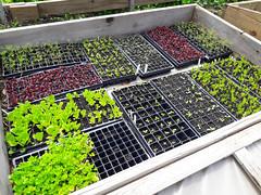 seedlings in hoop house (BelmontAcresFarm) Tags: may 2019 belmont farm belmontacres seedlings hoop house