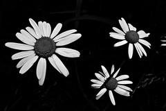 11 - Le printemps dans le fossé - Marguerites (melina1965) Tags: panasonic lumix dmctz57 bourgogne burgondy saôneetloire 2019 saintvallier printemps spring juin june macro macros noiretblanc blackandwhite bw fleur fleurs flower flowers
