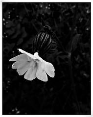 13 - Le printemps dans le fossé - Fleur blanche (melina1965) Tags: panasonic lumix dmctz57 bourgogne burgondy saôneetloire 2019 saintvallier printemps spring juin june macro macros noiretblanc blackandwhite bw fleur fleurs flower flowers