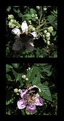 1 - Le printemps dans le fossé - La visiteuse et le visiteur (melina1965) Tags: panasonic lumix dmctz57 bourgogne burgondy saôneetloire 2019 saintvallier printemps spring juin june macro macros mosaïque mosaïques mosaic mosaics collages collage fleur fleurs flower flowers insecte insectes insect insects