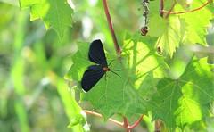 Erebidae Family --  a moth 1065 (Tangled Bank) Tags: wild nature natural palm beach county florida outdoors erebidae family moth 1065