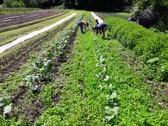 weeding out the broccoli (BelmontAcresFarm) Tags: june 2019 belmont farm belmontacres broccoli weeding emily nathanael sekhar