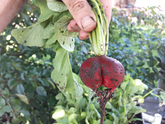 radish butt (BelmontAcresFarm) Tags: june 2019 belmont farm belmontacres radish butt
