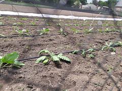 weeding out the artichokes (BelmontAcresFarm) Tags: june 2019 belmont farm belmontacres artichokes weeding