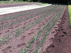 tilling between onions (BelmontAcresFarm) Tags: june 2019 belmont farm belmontacres onions tilling