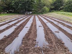 plastic mulch for nightshades (BelmontAcresFarm) Tags: may 2019 belmont farm belmontacres plastic mulch