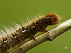Caterpillar (A>M>S) Tags: catapiller drinker moth caterpilar