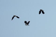 чибисы 20190615__DSC2162 (miroru) Tags: lapwing d7200 nikond7200 nikon tamron150600g2 bird