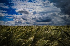 Kornfeld (bc-schulte) Tags: huaweimate10pro natur nature kornfeld himmel sky mobilephone wolken clouds