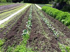 weeding out the broccoli (BelmontAcresFarm) Tags: june 2019 belmont farm belmontacres broccoli weeding
