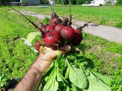 radishes (BelmontAcresFarm) Tags: june 2019 belmont farm belmontacres radishes