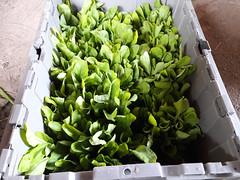 arugula for shares (BelmontAcresFarm) Tags: june 2019 belmont farm belmontacres arugula csa
