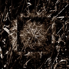 3 - Le printemps dans le fossé - Pissenlit en lunules (melina1965) Tags: panasonic lumix dmctz57 bourgogne burgondy saôneetloire 2019 saintvallier printemps spring juin june macro macros mosaïque mosaïques mosaic mosaics collages collage sépia sepia dandelion dandelions pissenlits pissenlit fleur fleurs flower flowers