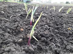 planting onions (BelmontAcresFarm) Tags: april 2019 onions belmontacres belmont farm
