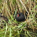 Moorhen and chicks  DSCN9744