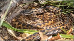 Adder Courtship (John R Chandler) Tags: adder animal channelislands durrellwildlifepark durrellwildlifetrust jersey jerseyzoo reptile snake viperaberus trinity
