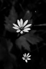 9 - Le printemps dans le fossé - Fleurs blanches (melina1965) Tags: panasonic lumix dmctz57 bourgogne burgondy saôneetloire 2019 saintvallier printemps spring juin june macro macros noiretblanc blackandwhite bw fleur fleurs flower flowers