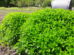 mint hedge (BelmontAcresFarm) Tags: may 2019 belmont farm belmontacres mint