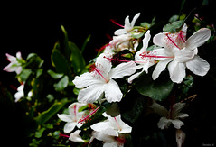 white hibiscus (Christine_S.) Tags: canon eos m5 hawaii honolulu waikiki oahu kalakauaave flowers flower blossoms blooms blackbackground royalhawaiianhotel garden nature 32mm hibiscuswaimeae ngc npc