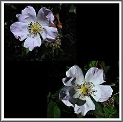 12 - Le printemps dans le fossé - Fleurs d'églantine (melina1965) Tags: panasonic lumix dmctz57 bourgogne burgondy saôneetloire 2019 saintvallier printemps spring juin june macro macros fleur fleurs flower flowers