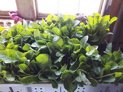 amara bunches (BelmontAcresFarm) Tags: june 2019 belmont farm belmontacres amara